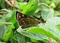Taractrocera ceramas – Tawny-spotted Grass Dart - Tamil Grass Dart. 06.jpg