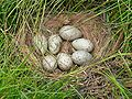 Tasmanian Native Hen Nest and Eggs.jpg