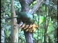 File:Tauraco persa - Guinea Turaco.webm