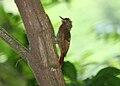 Tawny-winged Woodcreeper 2495432575.jpg