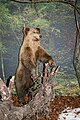 Taxidermied bear in the National Museum of Slovenia.jpg