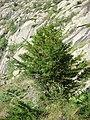 Taxus baccata L., If, if dans les pyrénées.JPG