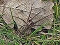 Tegenaria spec. (Araneae sp.), Arnhem, the Netherlands.jpg