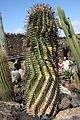 Teguise Guatiza - Jardin - Ferocactus townsendianus 02 ies.jpg