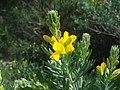 Teline linifolia 4.jpg