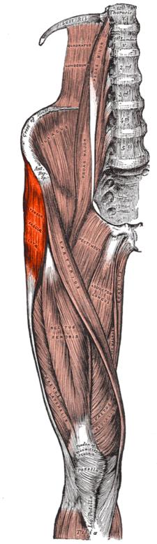 musculus tensor fasciae latae