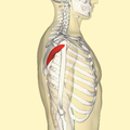 Teres minor muscle lateral.png