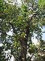 Terminalia chebula (Myrobalan) tree in RDA, Bogra.jpg