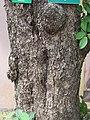 Terminalia chebula - Myrobalan - WikiSangamotsavam 2018, Kottappuram, Kodungalloor (2).jpg