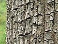 Terminalia elliptica - Begur, Wayanad 04.jpg