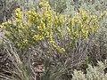 Tetradymia spinosa (3765111037).jpg
