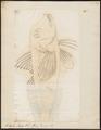 Tetraroge taenionotus - 1700-1880 - Print - Iconographia Zoologica - Special Collections University of Amsterdam - UBA01 IZ13300057.tif