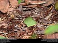 Texas Leaf-cutting Ants (Myrmicinae, Atta texana) (31240555525).jpg
