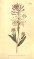 The Botanical Magazine, Plate 389 (Volume 11, 1797).png
