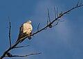 The Dove Above (Zenaida macroura).jpg