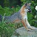 The Fox (9613050896).jpg