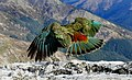 The Kea New Zealand. (11876479235).jpg