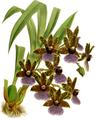 The Orchid Album-01-0086-0028-Zygopetalum gautieri-crop.png