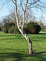 The Silver Birch and Prince Albert's Statue, Pearson Park, Hull - geograph.org.uk - 718510.jpg