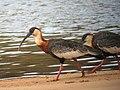 Theristicus caudatus Bandurria aliblanca Buff-necked Ibis (8485214811).jpg