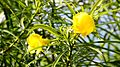Thevetia Peruviana (Lucky Nut) (28893888365).jpg