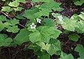 Thimbleberry Rubus parviflorus.jpg