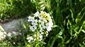 Thlaspi arvense, flowering plant in Yerevan 01.jpg