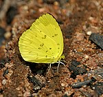 Three-spot Grass Yellow (Eurema blanda) in Talakona forest, AP W IMG 8188.jpg