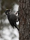 Three-toed Woodpecker 2 (Karin Baptist).jpg