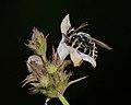 Thrincohalictus prognathus male 3.jpg