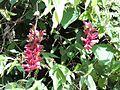 Thunbergia coccinea Mishmi Hills AJTJohnsingh DSCN4069.JPG
