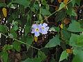 Thunbergia grandiflora2.jpg