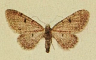<i>Eupithecia distinctaria</i> species of insect