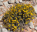 Thymophylla acerosa 1.jpg