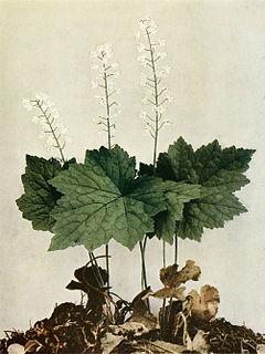 Tiarella cordifolia WFNY-088.jpg