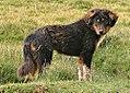 Tibetan Mastiff2.jpg