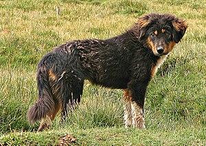 Chó Ngao Tây Tạng Wikipedia Tiếng Việt