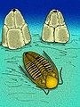 Timoraspis breviceps.jpg