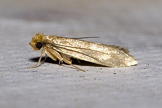 <i>Tineola bisselliella</i> Species of moth