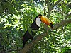 Toco toucan foz.jpg