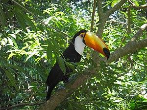 Tucano, ave comum no Cerrado