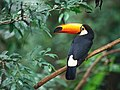 Toco toucan in a forest.jpg