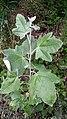 Topol bílý (linda) Podkomorské lesy.jpg