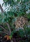 Toxicodendron succedaneum (L.) Kuntze (AM AK275929-1).jpg
