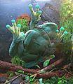 Trachycephalus resinifictrix - Flickr - Dick Culbert.jpg