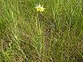 Tragopogon dubius (3624888723).jpg