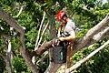 Tree Climbing Arborist.jpg