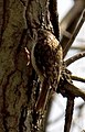 Tree Creeper 3 (4490370538).jpg