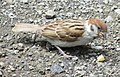 Tree Sparrow Out of the nest after one week.jpg