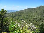 Tree daisies (Olearia rani) in bloom on Mount Karioi.JPG